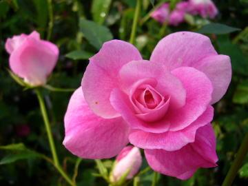 薔薇 アイス バーグ
